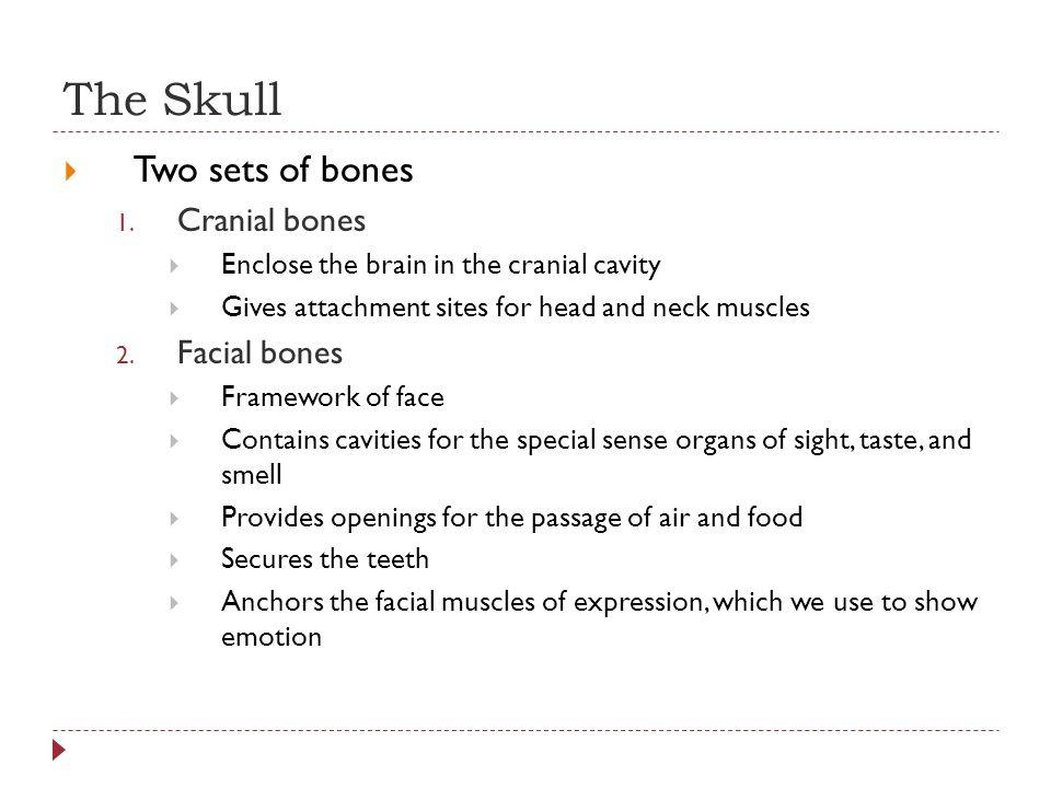 The Skull  Two sets of bones 1.