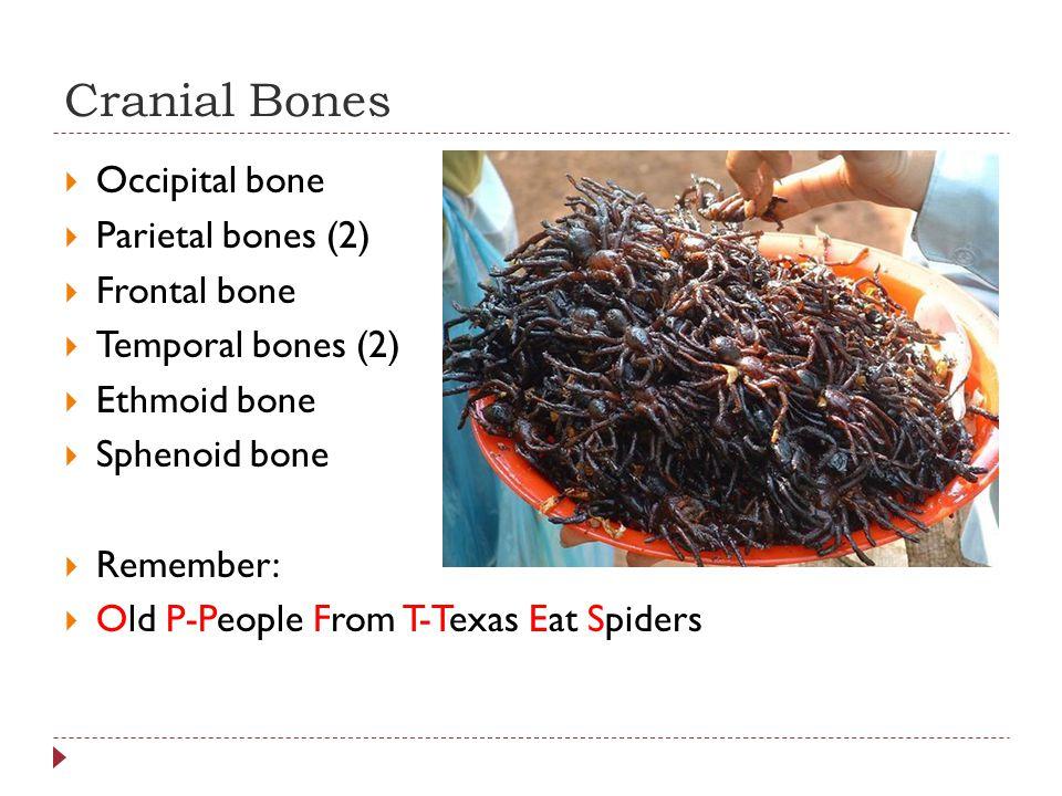 Cranial Bones  Occipital bone  Parietal bones (2)  Frontal bone  Temporal bones (2)  Ethmoid bone  Sphenoid bone  Remember:  Old P-People From T-Texas Eat Spiders