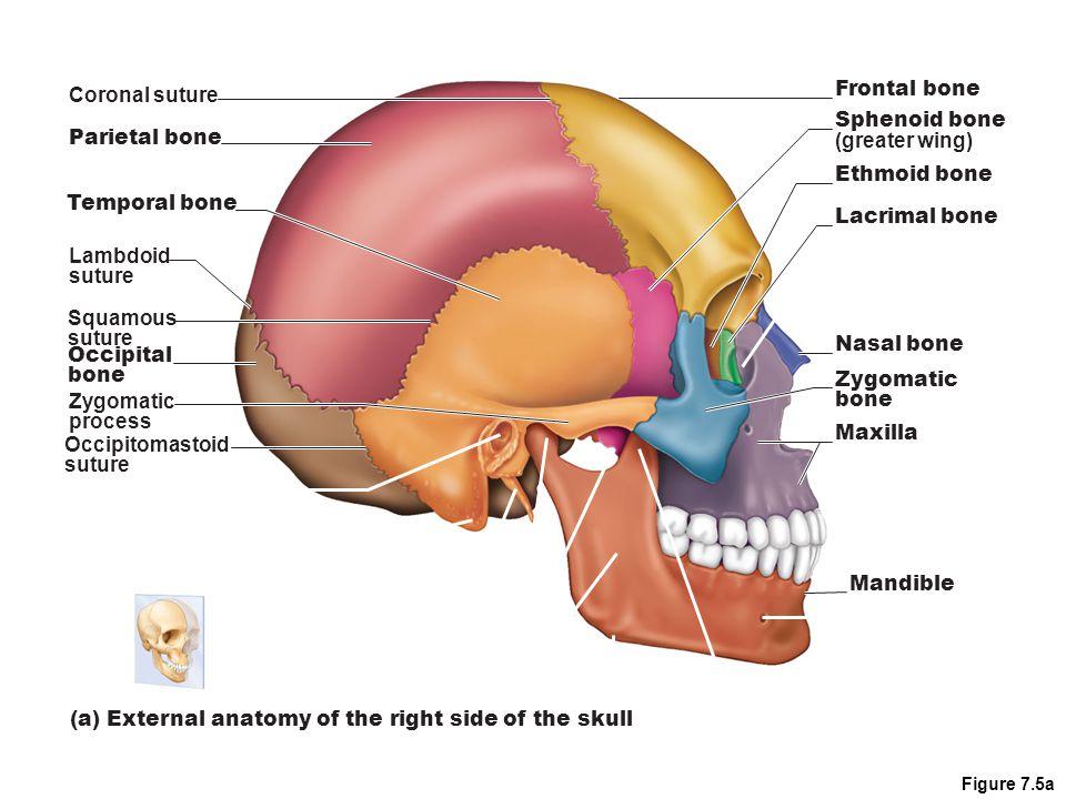 Coronal suture Frontal bone Sphenoid bone (greater wing) Ethmoid bone Lacrimal bone Nasal bone Zygomatic bone Maxilla Mandible Parietal bone Lambdoid suture Squamous suture Occipital bone Occipitomastoid suture (a) External anatomy of the right side of the skull Zygomatic process Temporal bone Figure 7.5a
