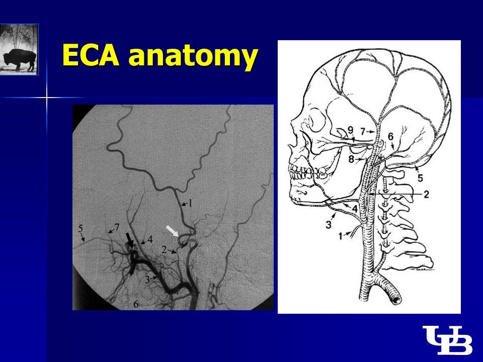 ECA anatomy