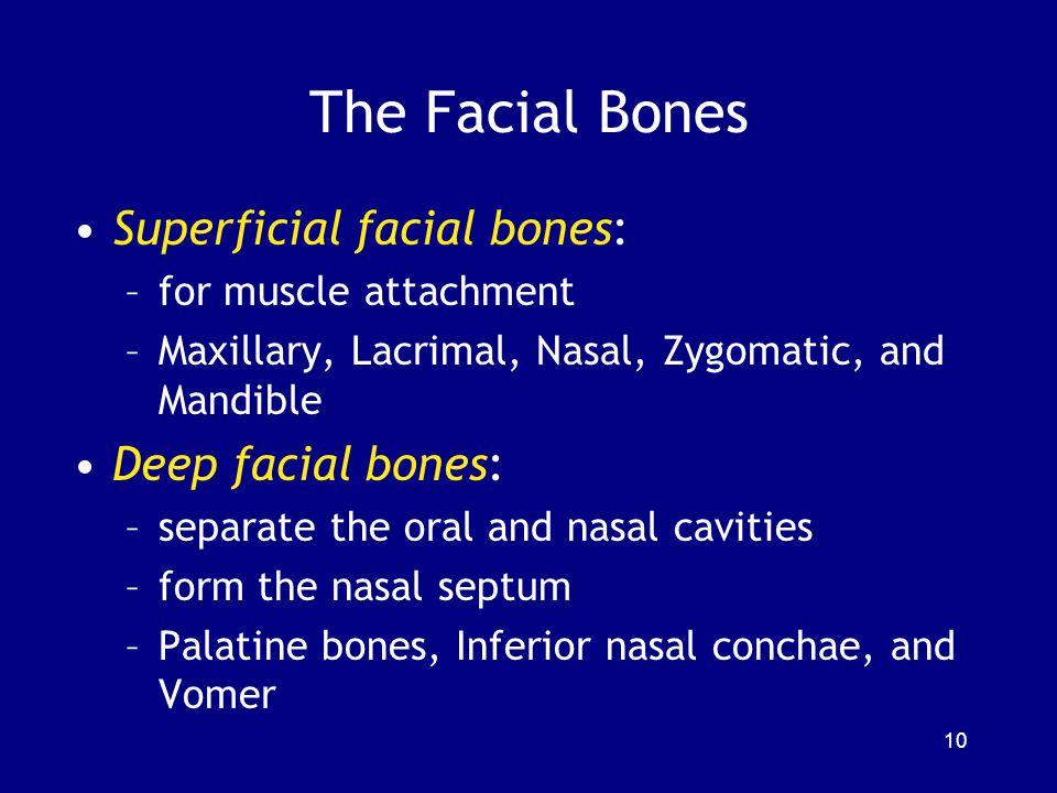 The Facial Bones Superficial facial bones: –for muscle attachment –Maxillary, Lacrimal, Nasal, Zygomatic, and Mandible Deep facial bones: –separate th