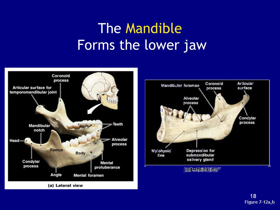 The Mandible Forms the lower jaw Figure 7–12a,b 18