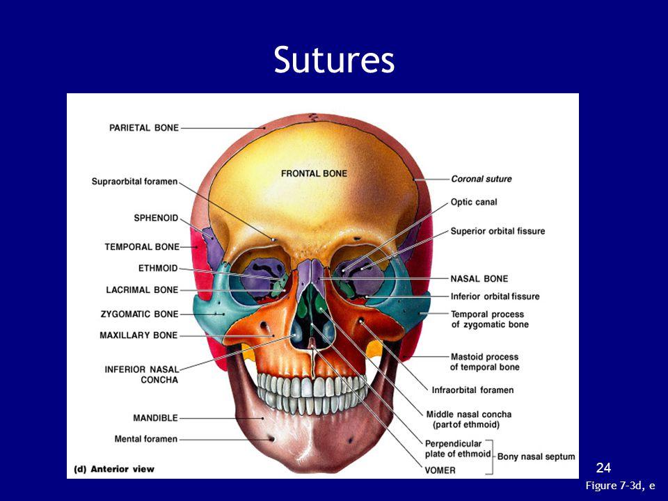 Sutures Figure 7–3d, e 24