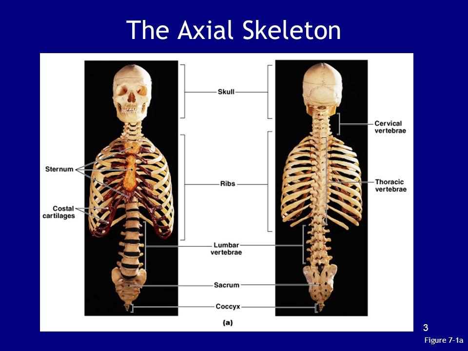Axial Skeleton 4