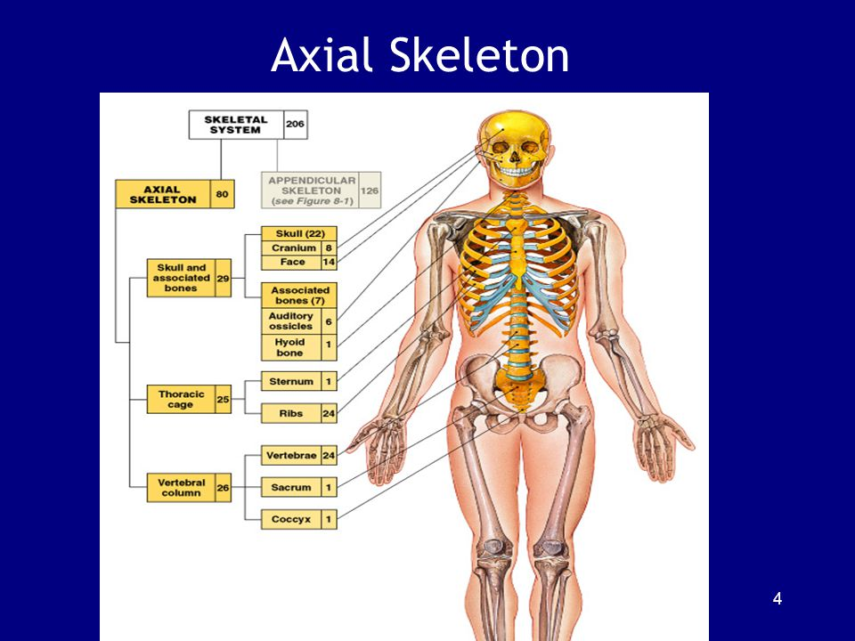 The Orbital Complex Portions of 7 cranial and facial bones Figure 7–13 25