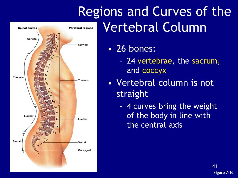 Regions and Curves of the Vertebral Column 26 bones: –24 vertebrae, the sacrum, and coccyx Vertebral column is not straight –4 curves bring the weight