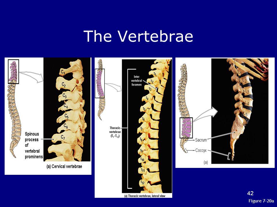 The Vertebrae Figure 7–20a 42