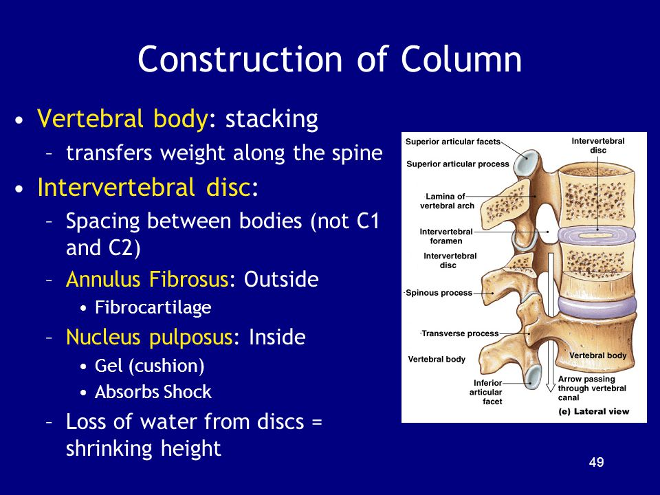 Construction of Column Vertebral body: stacking –transfers weight along the spine Intervertebral disc: –Spacing between bodies (not C1 and C2) –Annulu