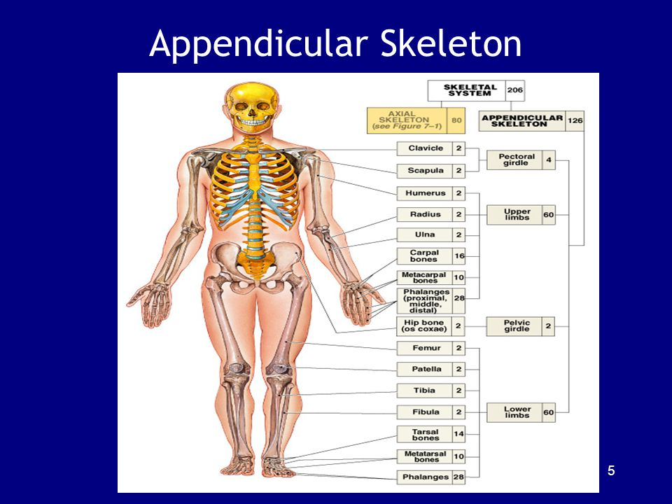 Axial Skeleton Function 1.Support and protect organs in dorsal and ventral body cavities 2.Provide surface area for muscle attachment: A.Adjust position of head, neck, & trunk B.Perform respiratory movements C.Stabilize appendicular skeleton 6
