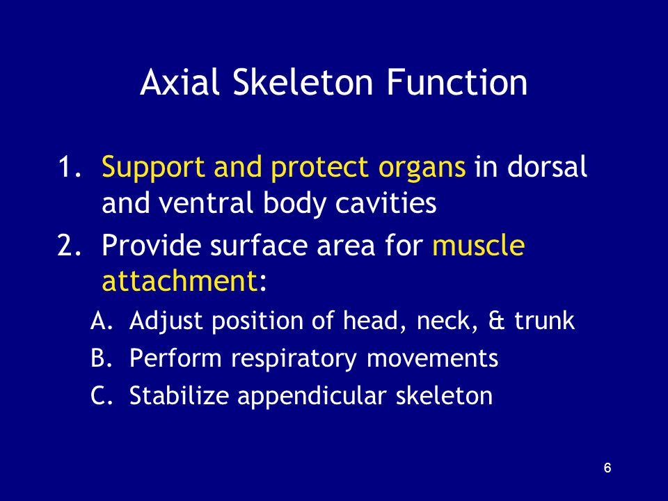 Axial Skeleton Function 1.Support and protect organs in dorsal and ventral body cavities 2.Provide surface area for muscle attachment: A.Adjust positi
