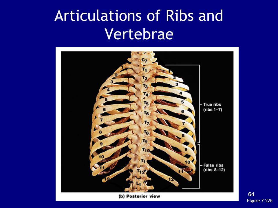 Articulations of Ribs and Vertebrae Figure 7–22b 64