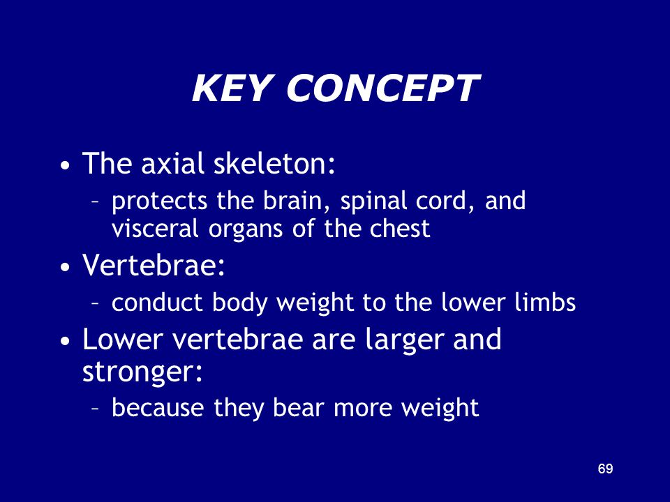 KEY CONCEPT The axial skeleton: –protects the brain, spinal cord, and visceral organs of the chest Vertebrae: –conduct body weight to the lower limbs