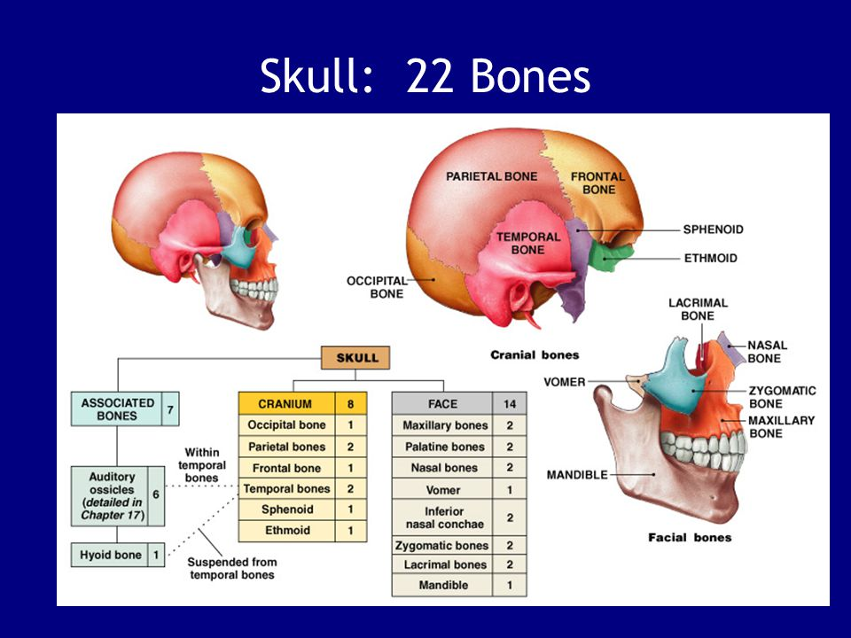The differences between the skulls of infants, children, and adults. 29