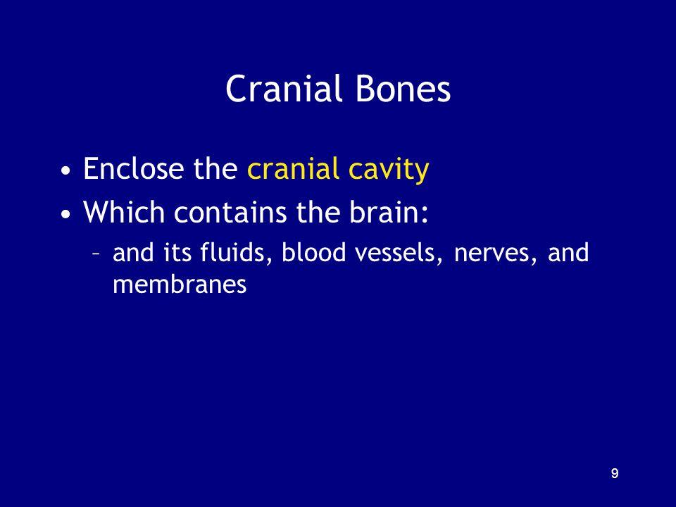 The Vertebral Column: 26 Bones The spine or vertebral column: –protects the spinal cord –supports the head and body 7 cervical vertebrae (C 1 -C 7 ) 12 Thoracic vertebrae (T 1 -T 12 ) 5 Lumbar vertebrae (L 1 -L 5 ) 1 Sacrum (5 fused) 1 Coccyx (3-5 fused) 40