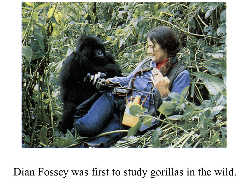 Dian Fossey was first to study gorillas in the wild.
