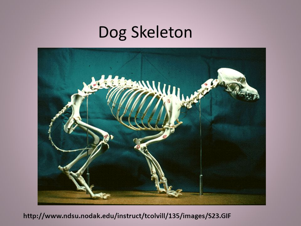 Dog Skeleton http://www.ndsu.nodak.edu/instruct/tcolvill/135/images/S23.GIF