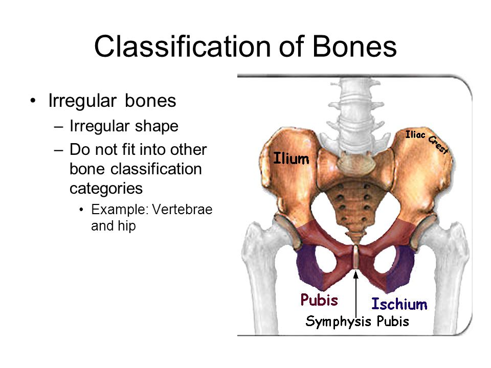 Classification of Bones Irregular bones –Irregular shape –Do not fit into other bone classification categories Example: Vertebrae and hip