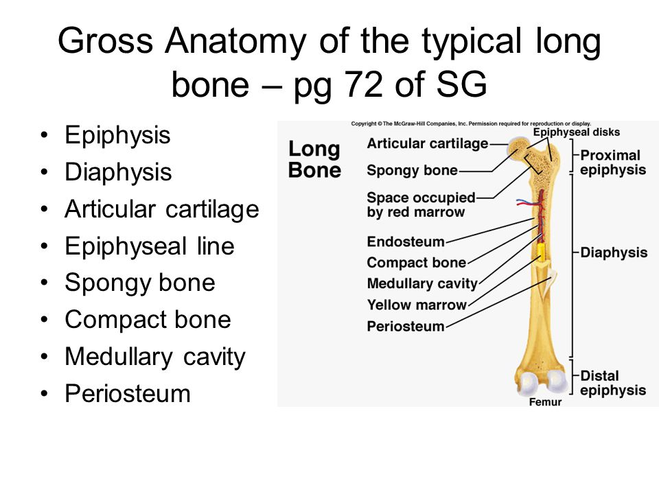 Gross Anatomy of the typical long bone – pg 72 of SG Epiphysis Diaphysis Articular cartilage Epiphyseal line Spongy bone Compact bone Medullary cavity Periosteum