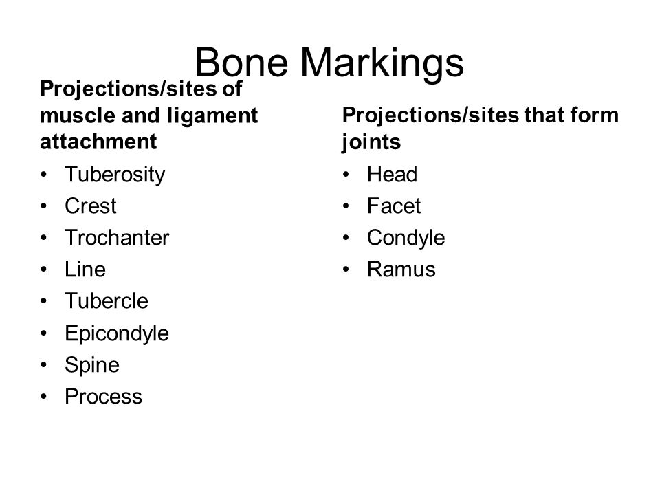 Bone Markings Projections/sites of muscle and ligament attachment Tuberosity Crest Trochanter Line Tubercle Epicondyle Spine Process Projections/sites