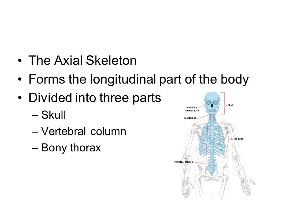 The Axial Skeleton Forms the longitudinal part of the body Divided into three parts –Skull –Vertebral column –Bony thorax