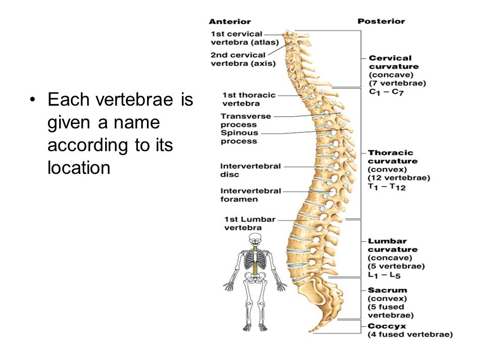 Each vertebrae is given a name according to its location