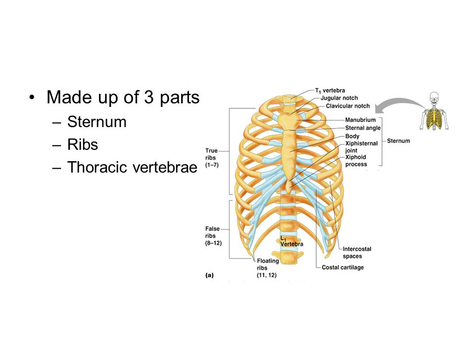 Made up of 3 parts –Sternum –Ribs –Thoracic vertebrae