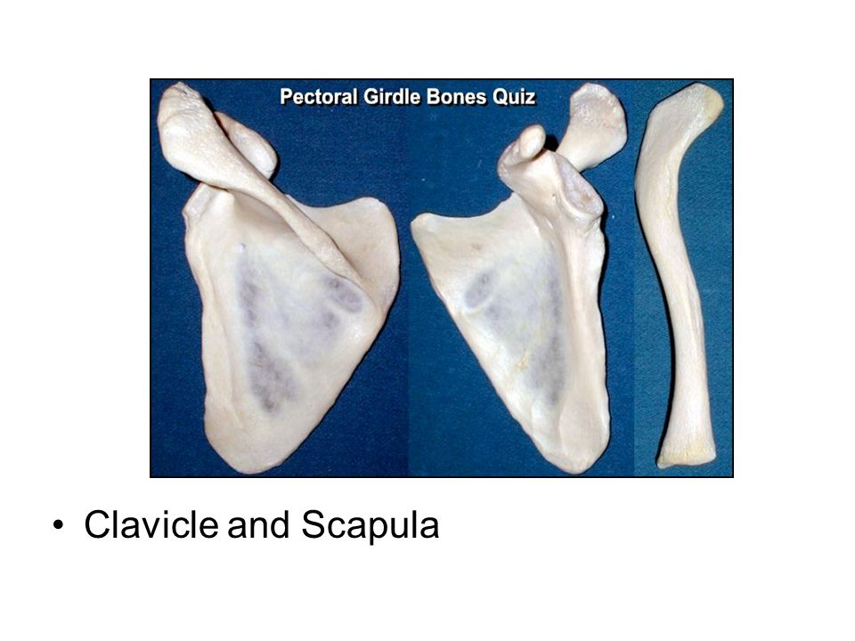 Clavicle and Scapula