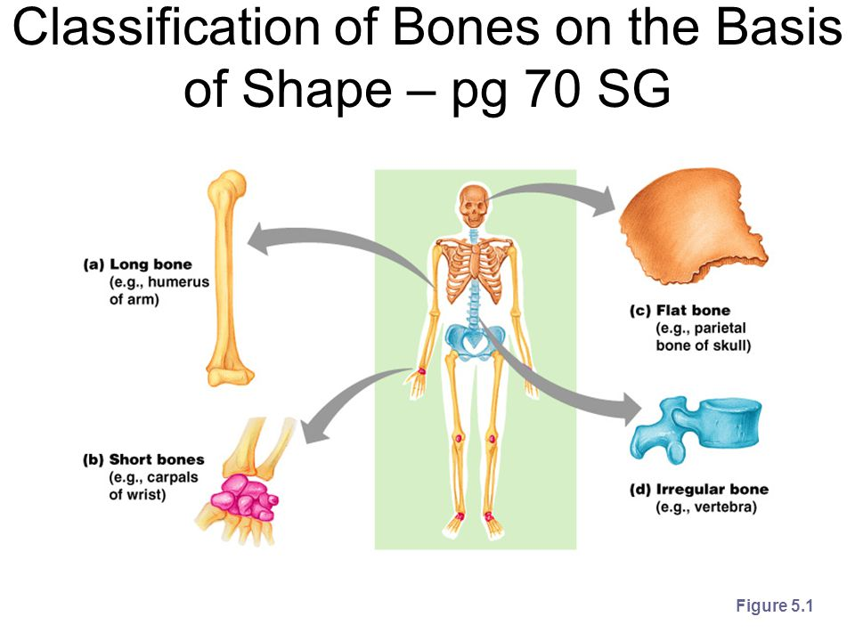 Classification of Bones on the Basis of Shape – pg 70 SG Figure 5.1
