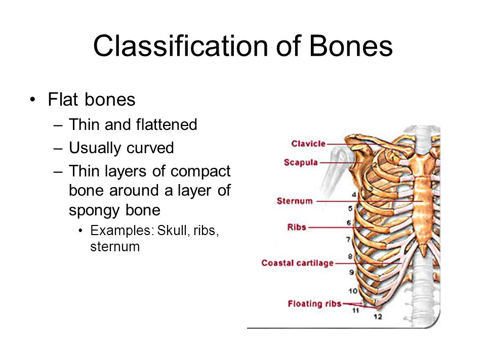 Classification of Bones Flat bones –Thin and flattened –Usually curved –Thin layers of compact bone around a layer of spongy bone Examples: Skull, rib
