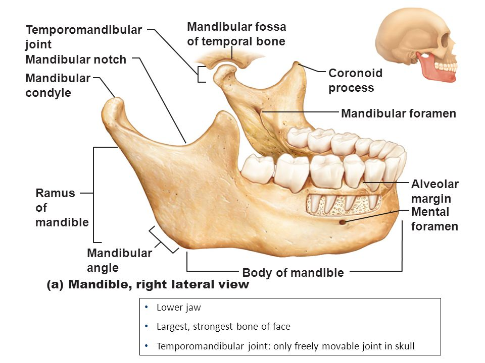 Mandibular notch - Wikipedia