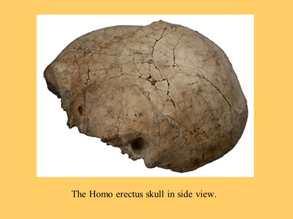 The Homo erectus skull in side view.