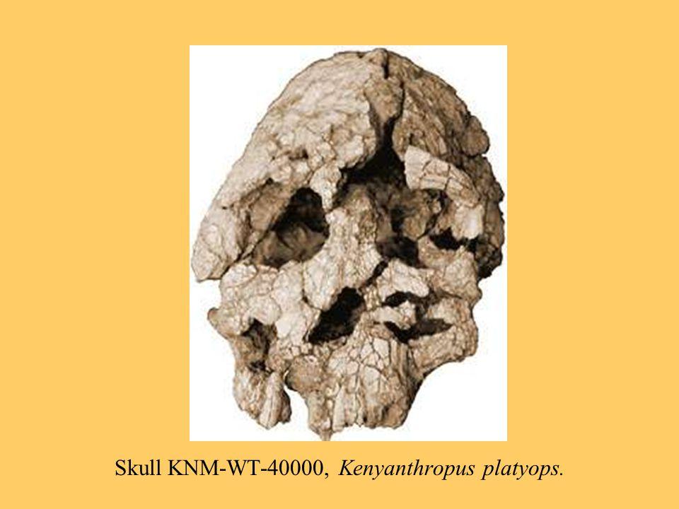 Skull KNM-WT-40000, Kenyanthropus platyops.