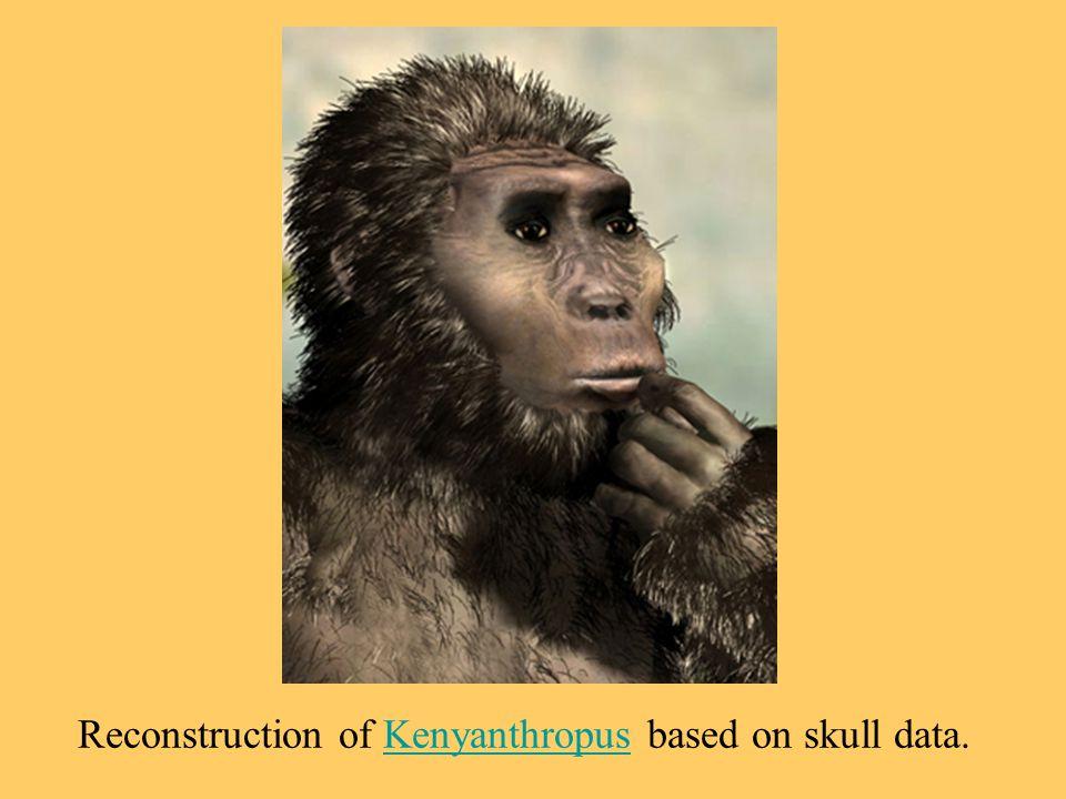 Reconstruction of Kenyanthropus based on skull data.Kenyanthropus