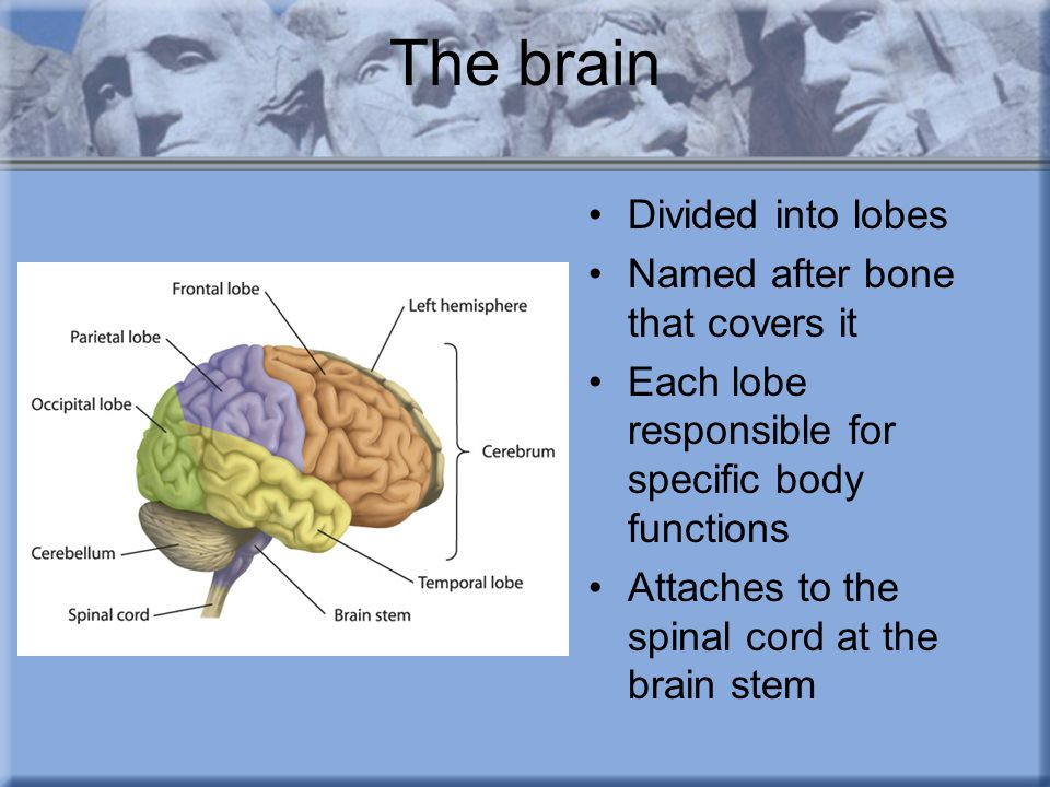 The brain Cerebrospinal fluid covers the brain and spinal cord –Helps maintain regular pressure –Protects brain from impacts –Severe head injury can cause leakage of fluid, should not stop drainage… causes increased pressure and more brain damage