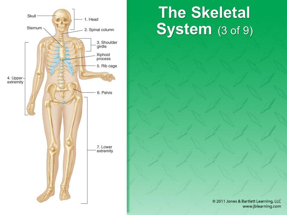 The Skeletal System (3 of 9)