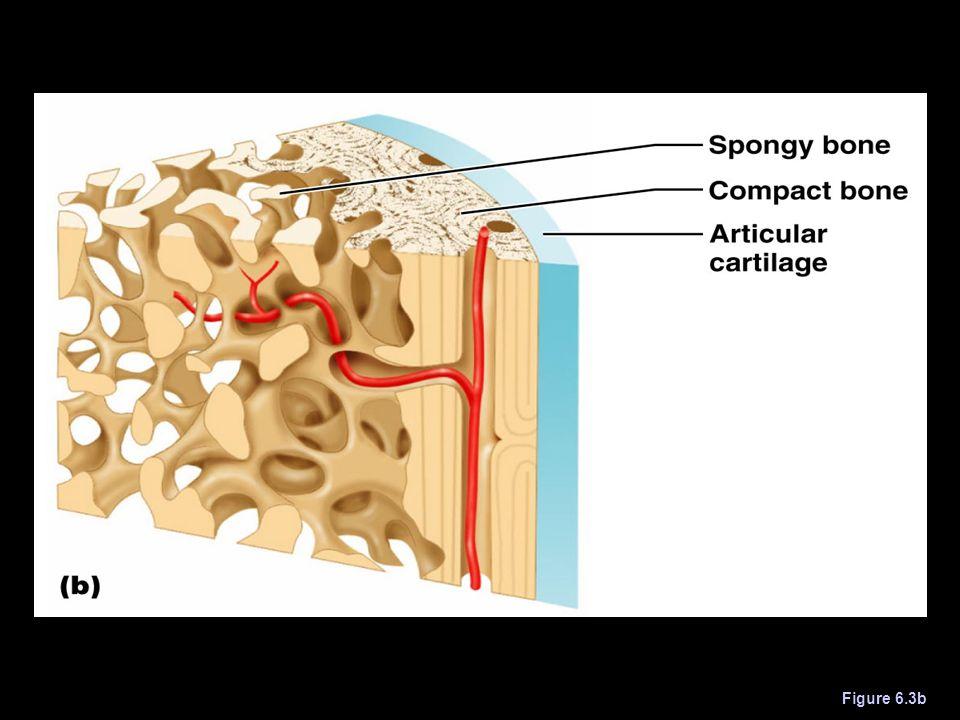 Structure of Long Bone Figure 6.3b
