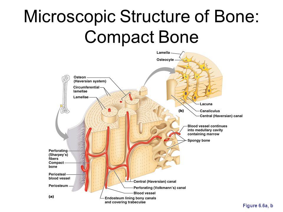 Microscopic Structure of Bone: Compact Bone Figure 6.6a, b