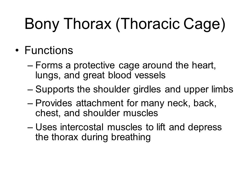 Bony Thorax (Thoracic Cage) Functions –Forms a protective cage around the heart, lungs, and great blood vessels –Supports the shoulder girdles and upp