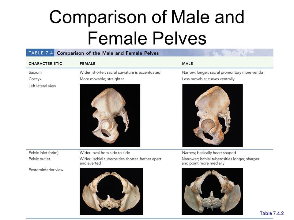 Comparison of Male and Female Pelves Table 7.4.2