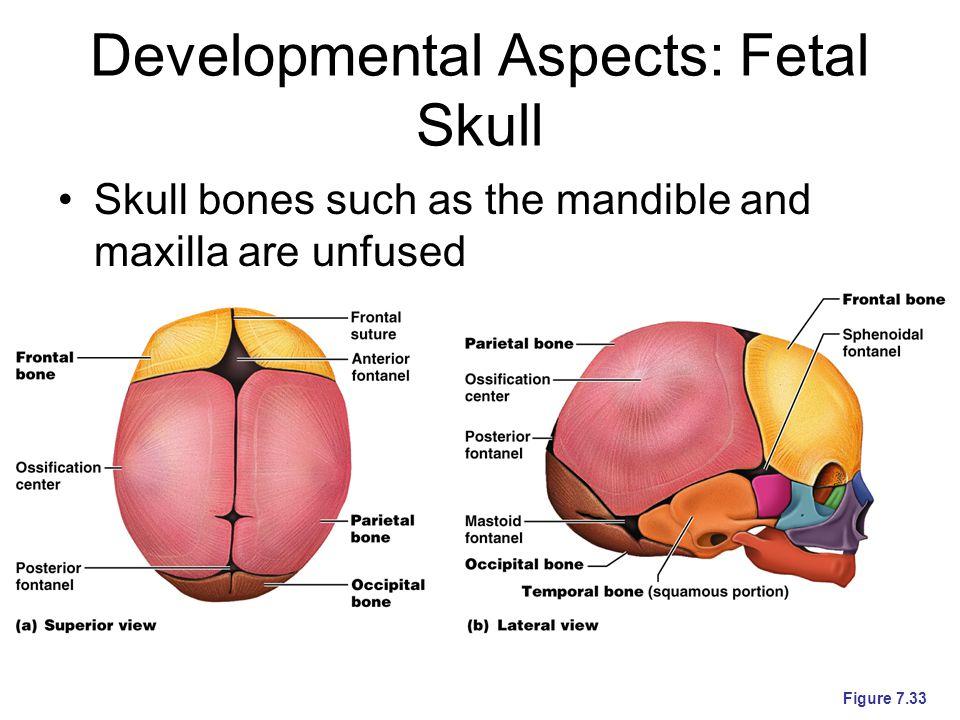 Developmental Aspects: Fetal Skull Skull bones such as the mandible and maxilla are unfused Figure 7.33