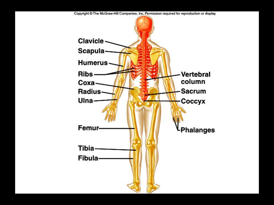 Structure of Long Bone Figure 6.3
