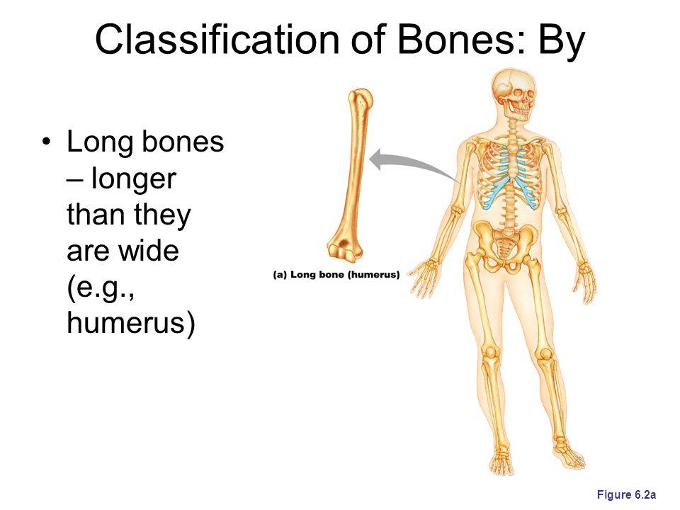 Microscopic Structure of Bone: Compact Bone Figure 6.6a