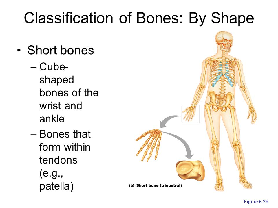 Classification of Bones: By Shape Flat bones – thin, flattened, and a bit curved (e.g., sternum, and most skull bones) Figure 6.2c