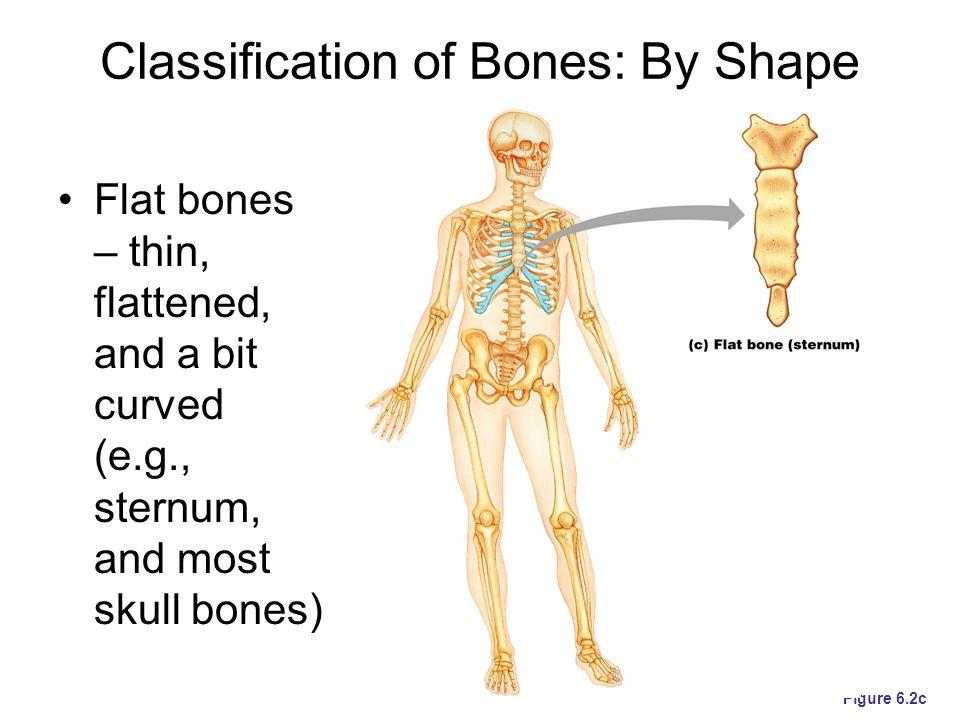 Classification of Bones: By Shape Irregular bones – bones with complicate d shapes (e.g., vertebrae and hip bones) Figure 6.2d