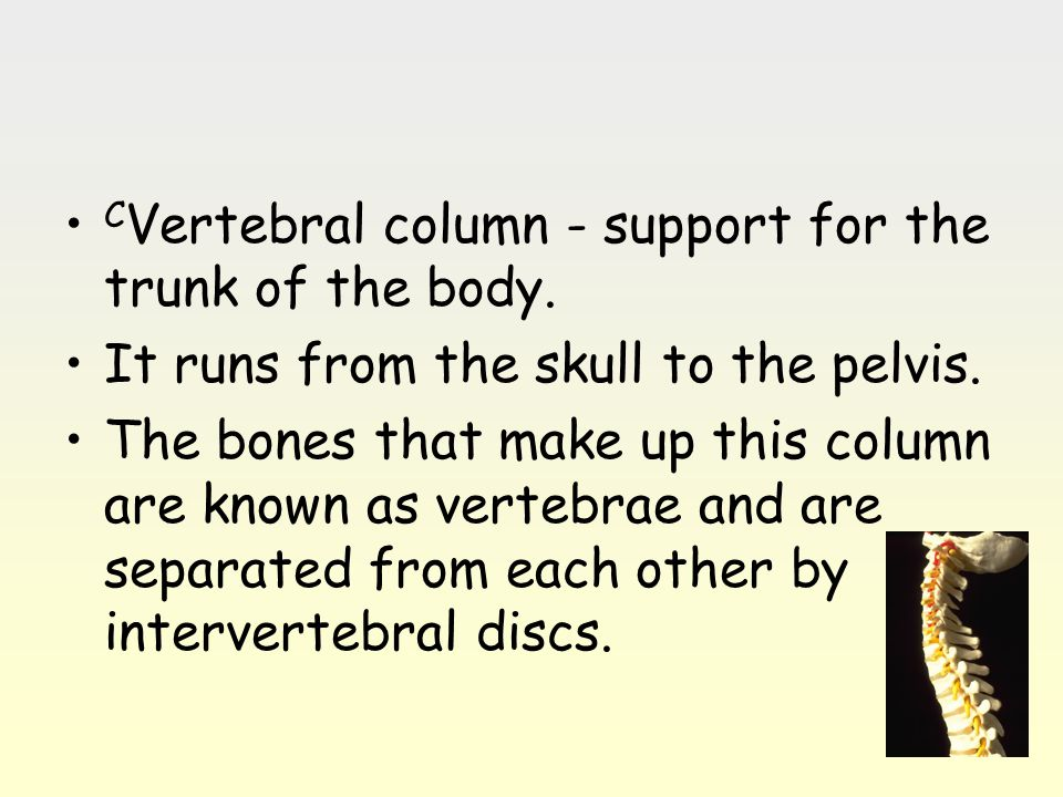 C Vertebral column - support for the trunk of the body. It runs from the skull to the pelvis. The bones that make up this column are known as vertebra