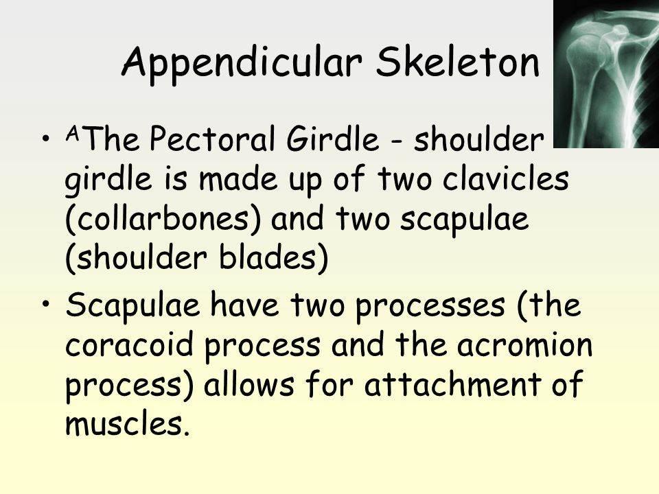 Appendicular Skeleton A The Pectoral Girdle - shoulder girdle is made up of two clavicles (collarbones) and two scapulae (shoulder blades) Scapulae ha