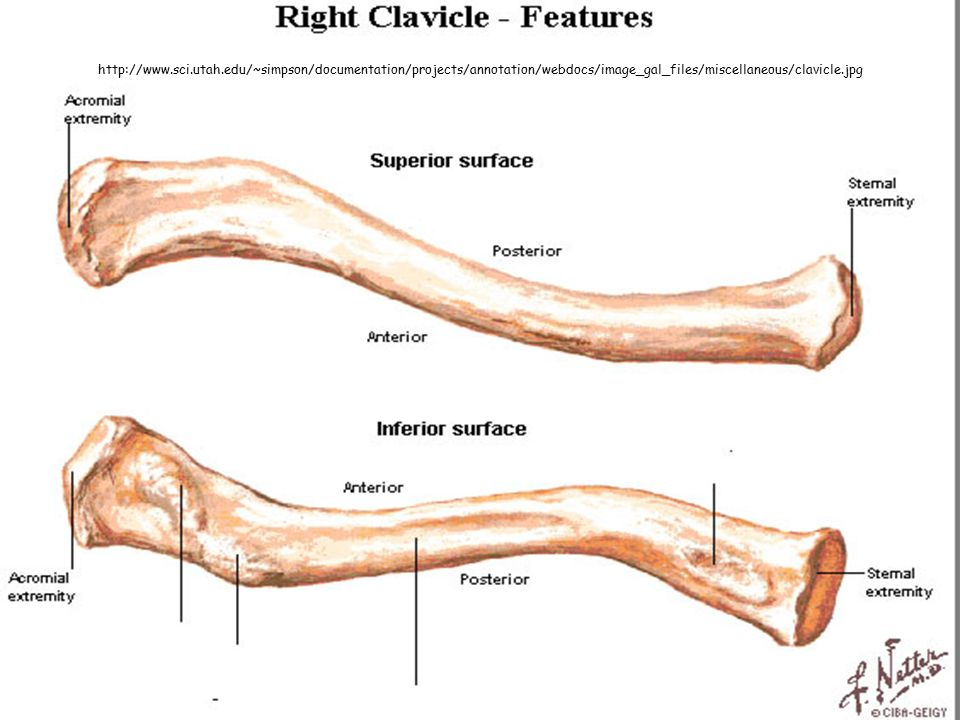 http://www.sci.utah.edu/~simpson/documentation/projects/annotation/webdocs/image_gal_files/miscellaneous/clavicle.jpg