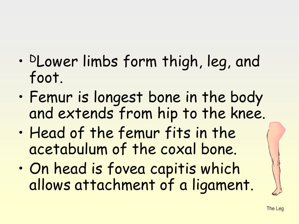 D Lower limbs form thigh, leg, and foot. Femur is longest bone in the body and extends from hip to the knee. Head of the femur fits in the acetabulum
