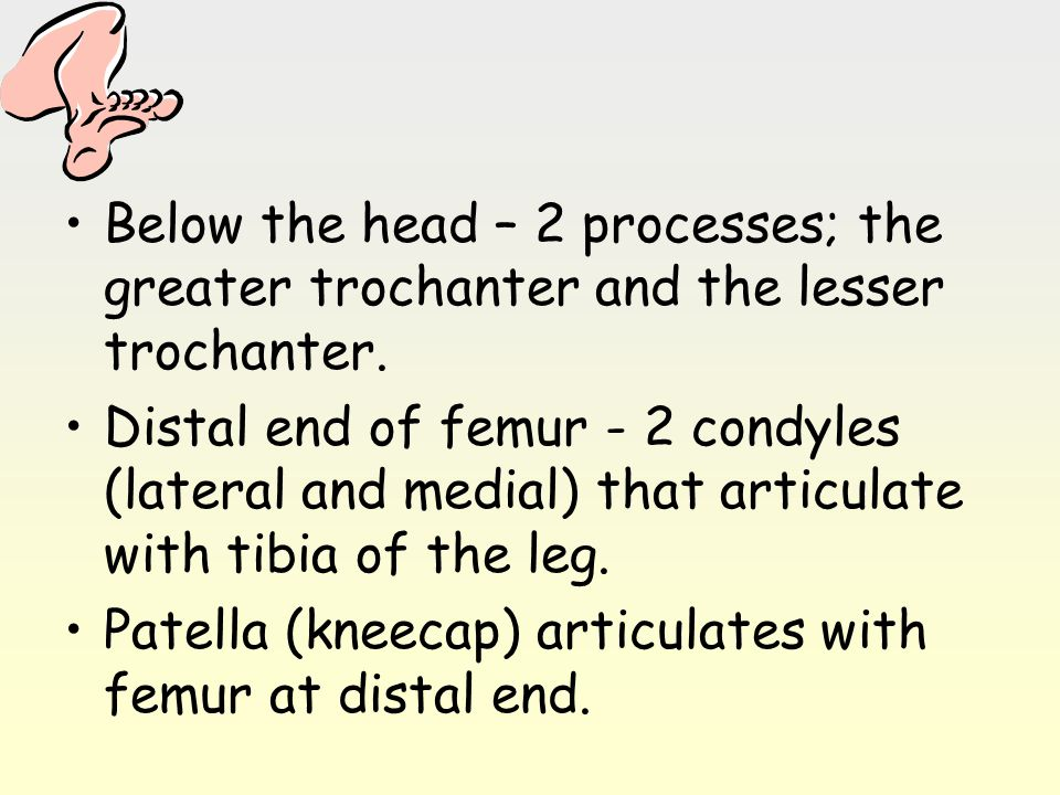 Below the head – 2 processes; the greater trochanter and the lesser trochanter. Distal end of femur - 2 condyles (lateral and medial) that articulate