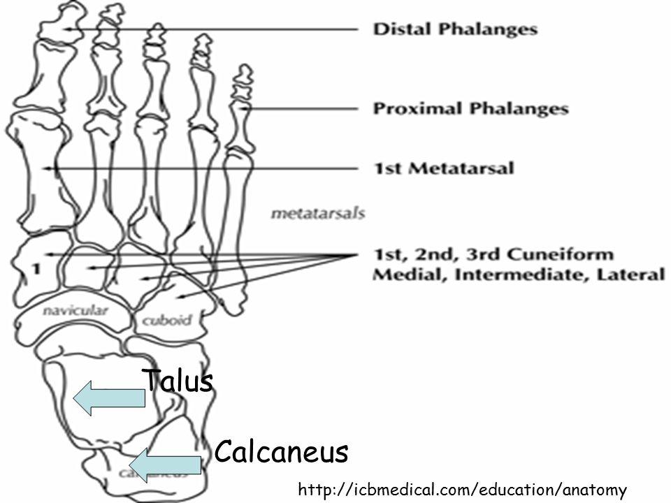 http://icbmedical.com/education/anatomy Talus Calcaneus